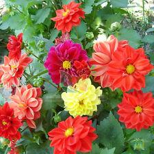 50pcs Dahlia Seeds Dahlia Pinnate cv. Original Packaging Seed