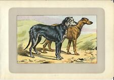 Stampa antica CANE LEVRIERO SCOZZESE GREYHOUND 1907 Old antique print dogs