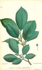 1863 Alno Nero ~ Rhamnus ramno CATARTICO Botanico Stampa