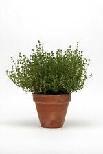 New Listing70 Herb Thyme Live Plants Plugs Garden Home Patio Diy Planters 463M