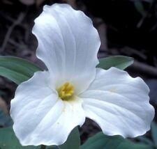 TRILLIUM GRANDIFLORUM Wake Robin White Native Wildflower Great Ontario 10 Seeds