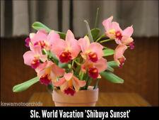 New listing Slc World Vacation 'Shibuya Sunset' orchid plant (162)