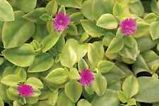 Magenta Purple Sun Rose Heart Leaf Ice Plant - Aptenia Cordifolia Succulent