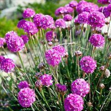 30 Seeds ~ Armeria maritima ~ Splendens Pure ~ Sea Pink/Sea Thrift ~ Perennial