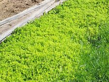 200 LIVE PLANTS Creeping Yellow Star Sedum Fast Growing Ground Cover Beautiful
