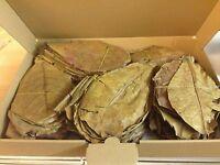 ~150 Stück (300 Gramm) 15-25cm - Seemandelbaumblätter Catappa Leaves TopQualität