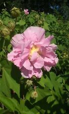 Confederate Rose 3 Gal. Large Pink Flower Plant Easy Grow Plants Perennials Now