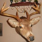 WHITETAIL DEER 9 point shoulder taxidermy mount
