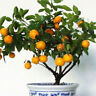 30 pcs Delicious Edible Fruit Mandarin Citrus Orange Bonsai Tree Seeds Sightly