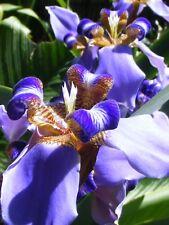 Neomarica fluminensis Bluebird of Paradise Winter Flowering Evergreen Iris