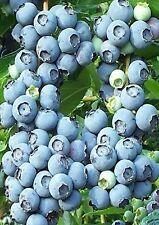 20 Rabbiteye Blueberry Plant Seeds BERRIES PIE -USA GROWN