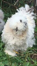 12+ Silkie/Frizzle Satin/Showgirl Hatching Eggs Npip Usps Special Handling