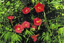 FLOWER MORNING GLORY IPOMOEA QUAMOCLIT RED FEATHER 80  SEEDS