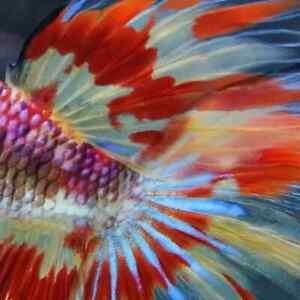 (LimitedOffer!) Premium Live Betta Fish l Male HM Nemo Fire Plakat 4161