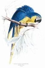 John Gould Native Animals Birds print blue parrot painting Vintage A3  Australia