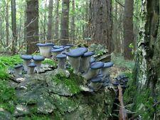 20 g Fresh BLUE OYSTER Pleurotus Columbinus Mycelium Mushroom Spawn Seeds Spores