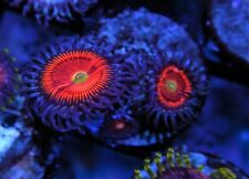 EVERLASTING GOBSTOPPER COLLECTOR ZOANTHID ZOA LIVE CORAL FRAG SALTWATER JUNKIES
