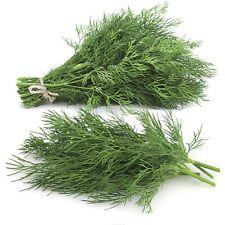 Herb Fresh. Dill Seed Mammoth Long Island Heirloom Organic Non Gmo 6000+Seeds