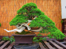 50 Pcs Juniper Bonsai Tree Seeds Potted Flower Office Bonsai Purify Air