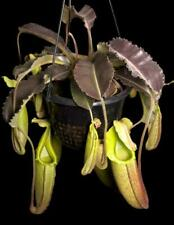 Nepenthes maxima 'Wavy Leaf': Be-3907 - carnivorous pitcher plant