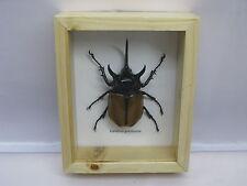 3D Box insectes- taxidermie, exotiques, réel - une beauté unique Naturalise