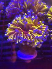 Massive Aussie  Gold Torch  WYSIWYG Live Coral Frag -