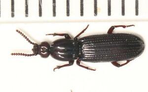 Rhysodidae sp.  West SICHUAN (1)