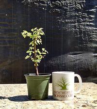Bonsai Tree, Chinese Elm, Ulmus parvifolia, Live Tree! Starter Tree