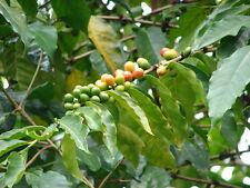 "Coffea racemosa ""Wild Coffee"" Grow Your Own Caffeine! Not Arabica - 5 seeds"