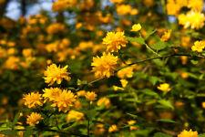 Kerria japonica 'Pleniflora' / Bachelor's Buttons Plant, 30-40cm Tall In 2L Pot