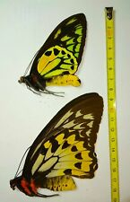 UNMOUNTED BUTTERFLIES, Ornithoptera croesus PAIR