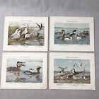 Lot Of 4 Plates FUERTES BIRDS Of NY Vintage Color Prints Duck Tern Grebe