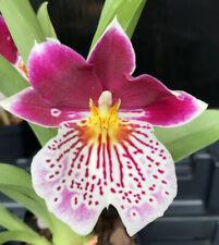 Miltoniopsis Hawaiian Swizzle 'Red Bull' Orchid Plant