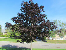 25 + seed - Chokecherry - Schubert - Cerisier - Schubert - choke - cherry -
