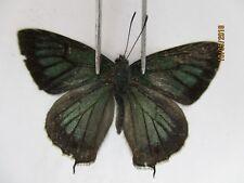 L2902. Unmounted butterflies: Lycaenidae sp. Central, Viet Nam. Over 2000m. New?