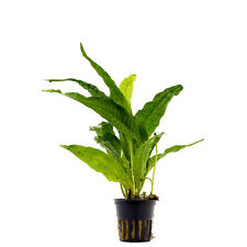 6 (six) Pots of Java Fern (Microsorum pteropus) - Hardy Aquatic Plant