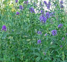100+ Mediicago Sative Purple Alfalfa Flower Seeds /  Long Lasting Perennial