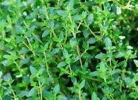 Thyme Seeds Herb Garden Fresh Herbs Country Value Fothergill's