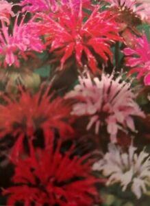 Bee Balm Mixed Flower Seeds