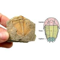 100%Natural Trilobite Tail Fossil Ancient Fossils Teaching Specimens Collection