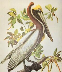 John James Audubon Birds BROWN PELICAN Vintage Original Book Plate Art Print