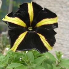 200 Petunia Seeds Yellow Black Color Flowers Home Gardening Pot Decor Planting