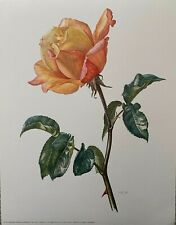 Hybrid Tea Rose Edelrose by Clause Caspari