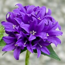 Bellflower Superba Seeds (Campanula Glomerata Superba) 50+Seeds