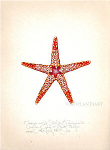 Ocean Sea ORANGE MARBLE STARFISH original limitd editon SIGNED print