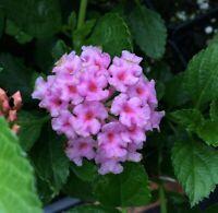 Lantana Pink Caprice pink pint plant