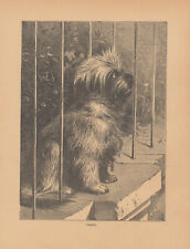 Early Dandie Dinmont Terrier Dog Antique Print 1886