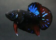 Thai Betta Live Fight Fish Black Wild Aqua Pet Home Office Garden Plakat Decor