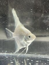 New listing Awesome Platinum Angelfish (Silver Dollar Body Size)