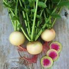 Watermelon Radish Seeds | Non-GMO | Fresh Vegetable Seeds